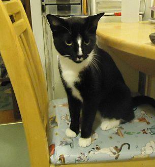 Domestic Shorthair Cat for adoption in Dale City, Virginia - Milo