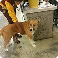 Adopt A Pet :: Socks - Bartlett, TN