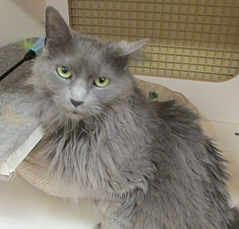 Domestic Longhair Cat for adoption in Richmond, Virginia - Denise