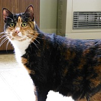 Calico Cat for adoption in Quincy, California - Shelly