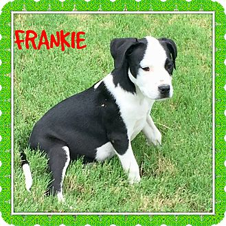 Great Dane/Boxer Mix Puppy for adoption in Moosup, Connecticut - FRANKIE RALPH MILLIE DAPHNE