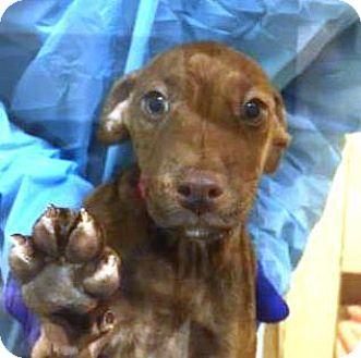 Dachshund Mix Dog for adoption in San Francisco, California - Ladybug
