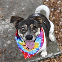 Adopt A Pet :: Cookie - Chattanooga, TN