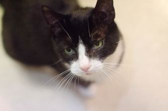 Domestic Shorthair/Domestic Shorthair Mix Cat for adoption in New Freedom, Pennsylvania - Maude