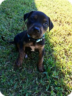 American Pit Bull Terrier Mix Puppy for adoption in Moyock, North Carolina - Ben