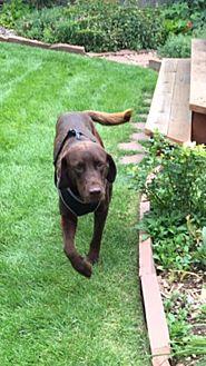 Labrador Retriever Dog for adoption in Denver, Colorado - Choco