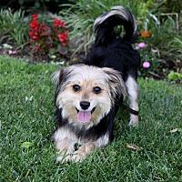 Adopt A Pet :: JESSE - Newport Beach, CA