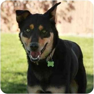 German Shepherd Dog Mix Dog for adoption in Denver, Colorado - Zeuss