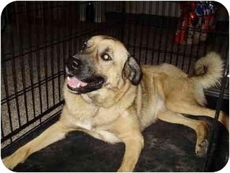Labrador Retriever/St. Bernard Mix Dog for adoption in Tracy, California - Kia