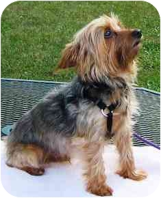 Yorkie, Yorkshire Terrier Dog for adoption in Osseo, Minnesota - Audie