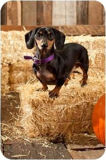 Dachshund Dog for adoption in Portland, Oregon - Oscar
