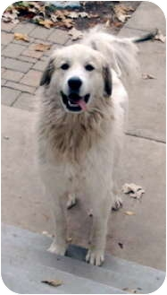 Great Pyrenees Mix Dog for adoption in Bloomington, Illinois - Tater