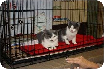 Domestic Shorthair Cat for adoption in Little Falls, New Jersey - Max & Maxcine (sc)