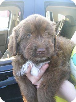 Shih Tzu/Poodle (Standard) Mix Puppy for adoption in Glastonbury, Connecticut - Sylvester