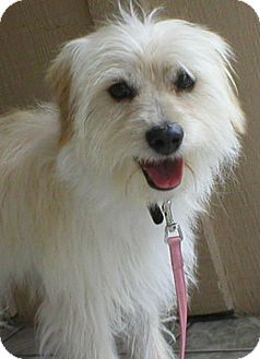 Poodle (Miniature)/Norfolk Terrier Mix Dog for adoption in Poway, California - STICH