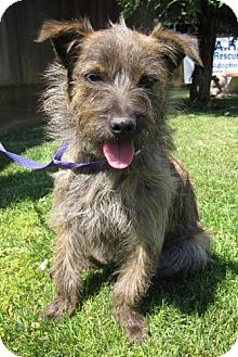 Chihuahua/Wirehaired Fox Terrier Mix Dog for adoption in Edmonton, Alberta - Caroline