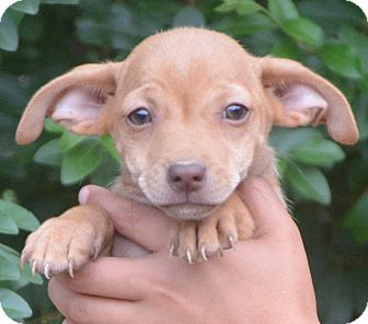 Chihuahua/Chihuahua Mix Puppy for adoption in Spring Valley, New York - Sandi