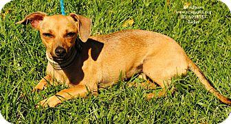 Dachshund Mix Dog for adoption in Yuba City, California - Lulu