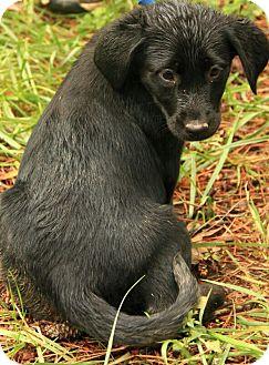 Labrador Retriever Mix Puppy for adoption in Allentown, Pennsylvania - Betty Crocker
