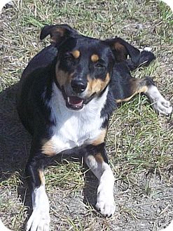 Australian Shepherd Mix Dog for adoption in Fort Valley, Georgia - Graysha