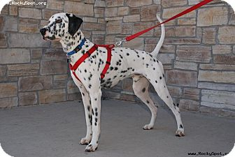Dalmatian Dog for adoption in Newcastle, Oklahoma - Odie