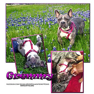 French Bulldog/American Staffordshire Terrier Mix Dog for adoption in Irving, Texas - Gremmy