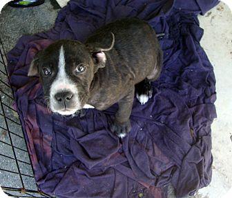 American Bulldog Mix Puppy for adoption in Daleville, Alabama - Muffin