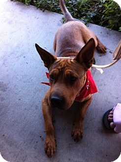 Shar Pei/Shepherd (Unknown Type) Mix Dog for adoption in Apple Valley, California - Beau