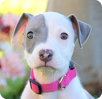 Pit Bull Terrier Mix Puppy for adoption in Thousand Oaks, California - Scarlett Johansson