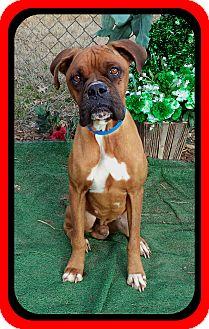 Boxer Dog for adoption in Marietta, Georgia - BUXLEY