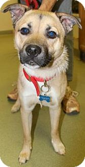 Shepherd (Unknown Type)/Pug Mix Dog for adoption in Elmwood Park, New Jersey - Charlie Murphy