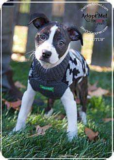 Fox Terrier (Smooth) Mix Puppy for adoption in Cincinnati, Ohio - Brutus