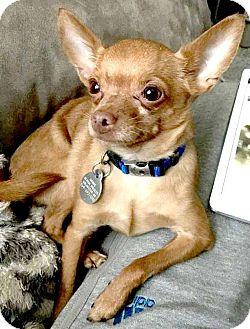 Chihuahua Mix Dog for adoption in Kalamazoo, Michigan - Pilot