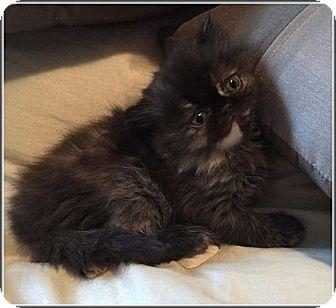 Persian Kitten for adoption in Hampton, Virginia - Meadow