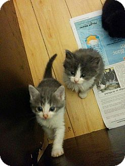 Domestic Shorthair Kitten for adoption in THORNHILL, Ontario - Princess