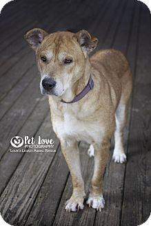 German Shepherd Dog/Shar Pei Mix Dog for adoption in Cincinnati, Ohio - Ellie