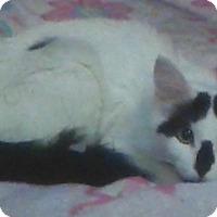 Domestic Longhair Cat for adoption in Warren, Michigan - Luciana