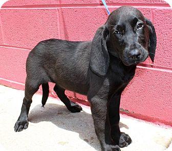 Labrador Retriever/Hound (Unknown Type) Mix Puppy for adoption in Goodlettsville, Tennessee - Maddie