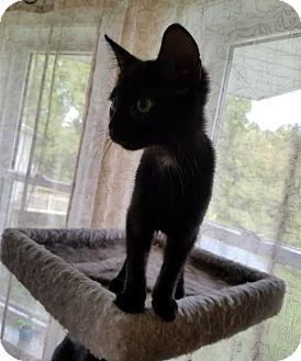 American Shorthair Kitten for adoption in Worcester, Massachusetts - Sabrina