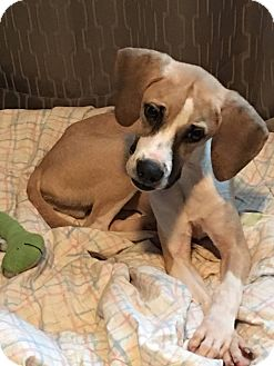 Hound (Unknown Type) Mix Puppy for adoption in METAIRIE, Louisiana - Teddie