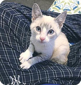 Siamese Kitten for adoption in Smithtown, New York - Sum Tim Wong