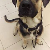 Shepherd (Unknown Type) Mix Dog for adoption in Riverview, Florida - Wilson