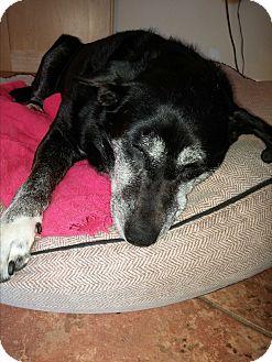Labrador Retriever Mix Dog for adoption in Huntington, New York - Lauren - N