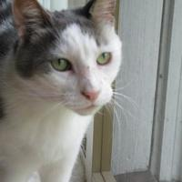 Domestic Shorthair/Domestic Shorthair Mix Cat for adoption in Blackstock, Ontario - Kitty Cat