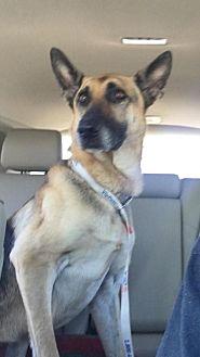 German Shepherd Dog Dog for adoption in Fresno, California - Baby Bruin