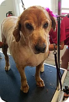 Golden Retriever Dog for adoption in Murrells Inlet, South Carolina - MAPLE