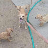 Adopt A Pet :: Valisa - Phoenix, AZ