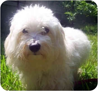 Maltese Mix Dog for adoption in Milledgeville, Georgia - Buddy