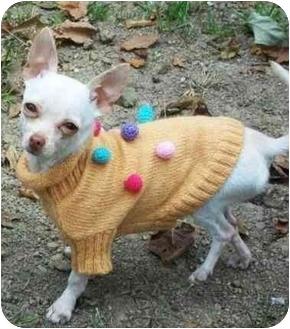 Chihuahua Mix Dog for adoption in Kokomo, Indiana - Snowflake