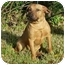 Photo 4 - German Shepherd Dog/Labrador Retriever Mix Dog for adoption in Kingwood, Texas - Clifford